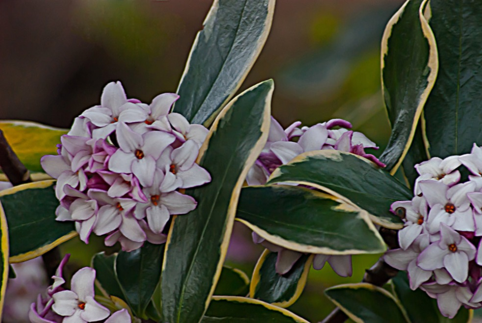 2 Quote A Flower Daily - Daphne 02