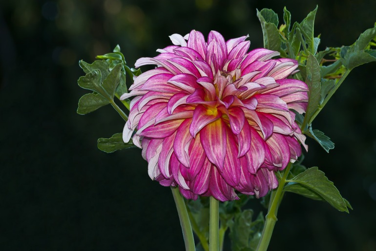 2 Quote A Flower Daily - Dream Dahlia