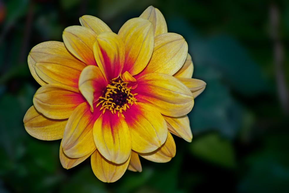 2 Quote A Flower Daily - Dreamy Eyes Dahlia 04