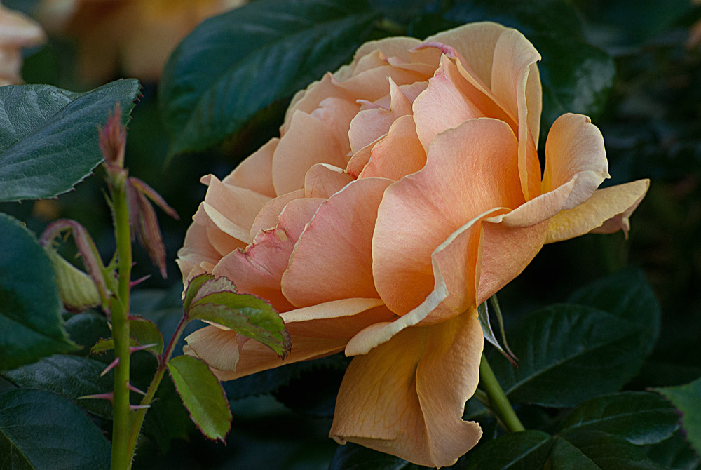 2 Quote A Flower Daily - Easy Going Rose 02