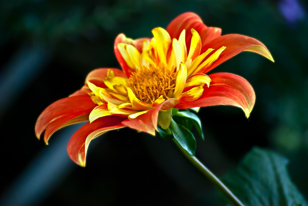 2 Quote A Flower Daily - Fire Dahlia