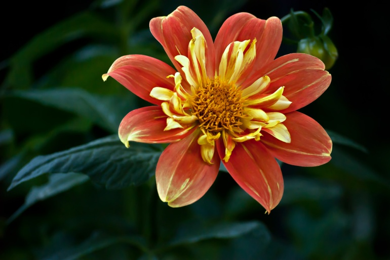 2 Quote A Flower Daily - Fire Dahlia Face