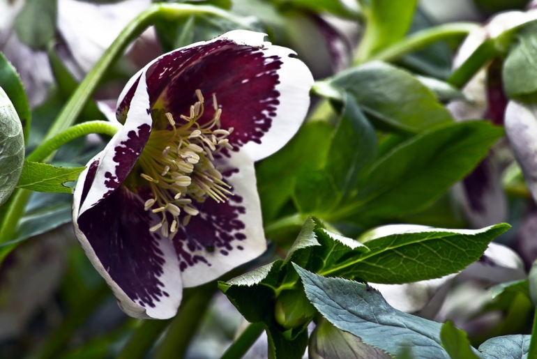 2 Quote A Flower Daily - Hellebore 03