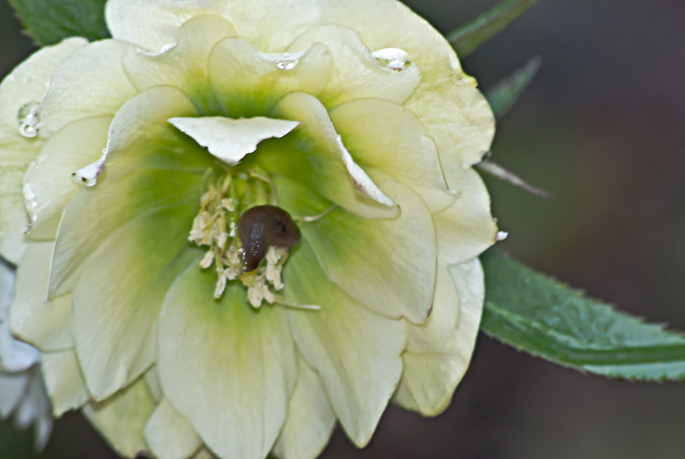 2 Quote A Flower Daily - Hellebore Slug
