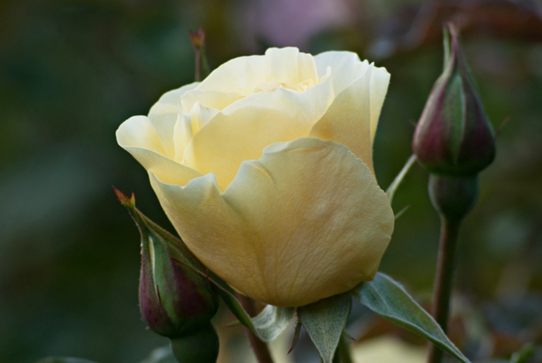 2 Quote A Flower Daily - High Voltage Yellow Rose Bud