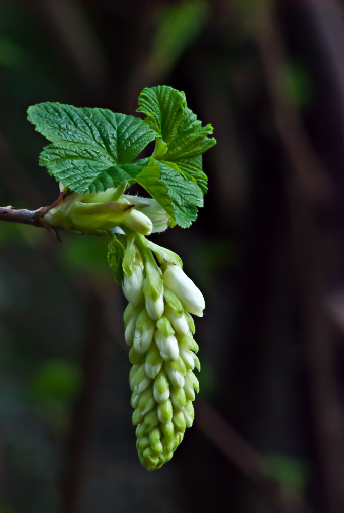 2 Quote A Flower Daily - White Currant