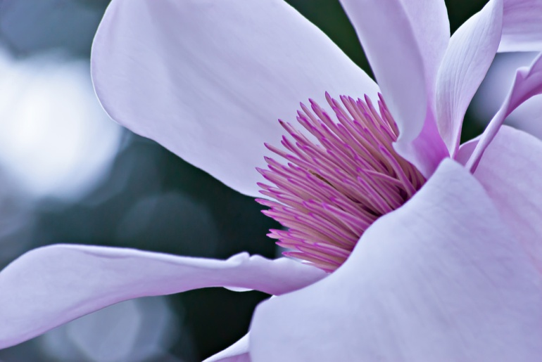 2 Quote A Flower Daily - Magnolia 04