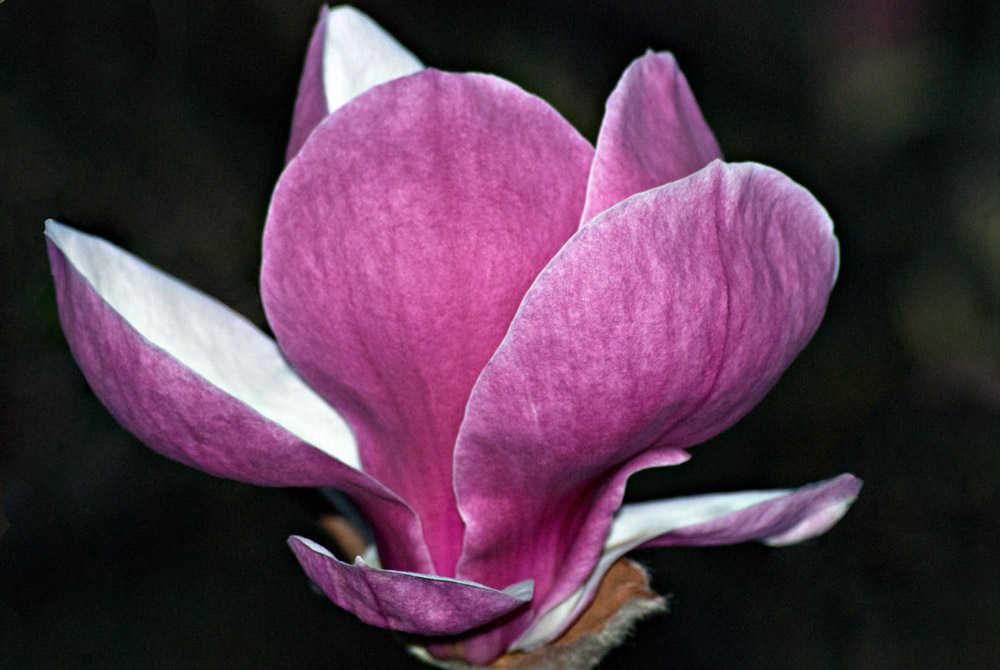 2 Quote A Flower Daily - Magnolia Petals 02