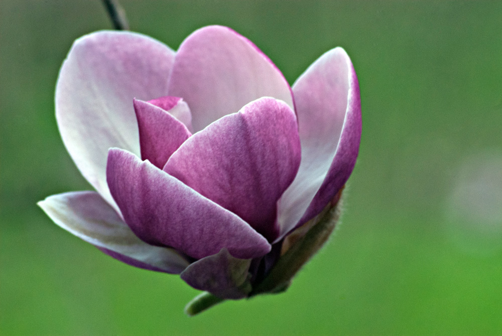 2 Quote A Flower Daily - Magnolia Pod