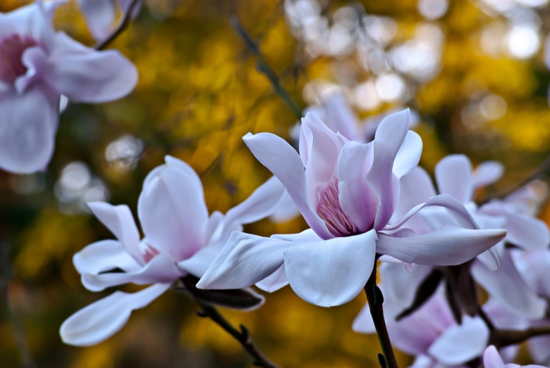 2 Quote A Flower Daily - Magnolia Sunset