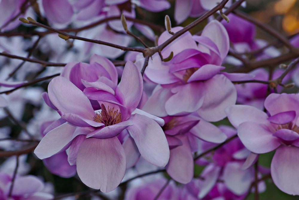 2 Quote A Flower Daily - Magnolias