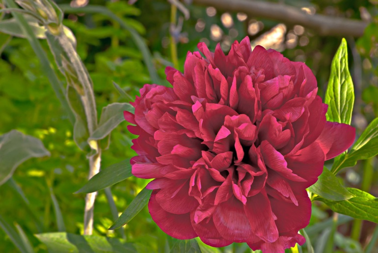 2 Quote A Flower Daily - Maroon Peony