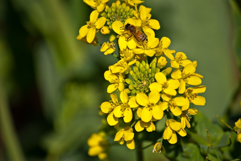 2 Quote A Bee - Mustard Bee 02