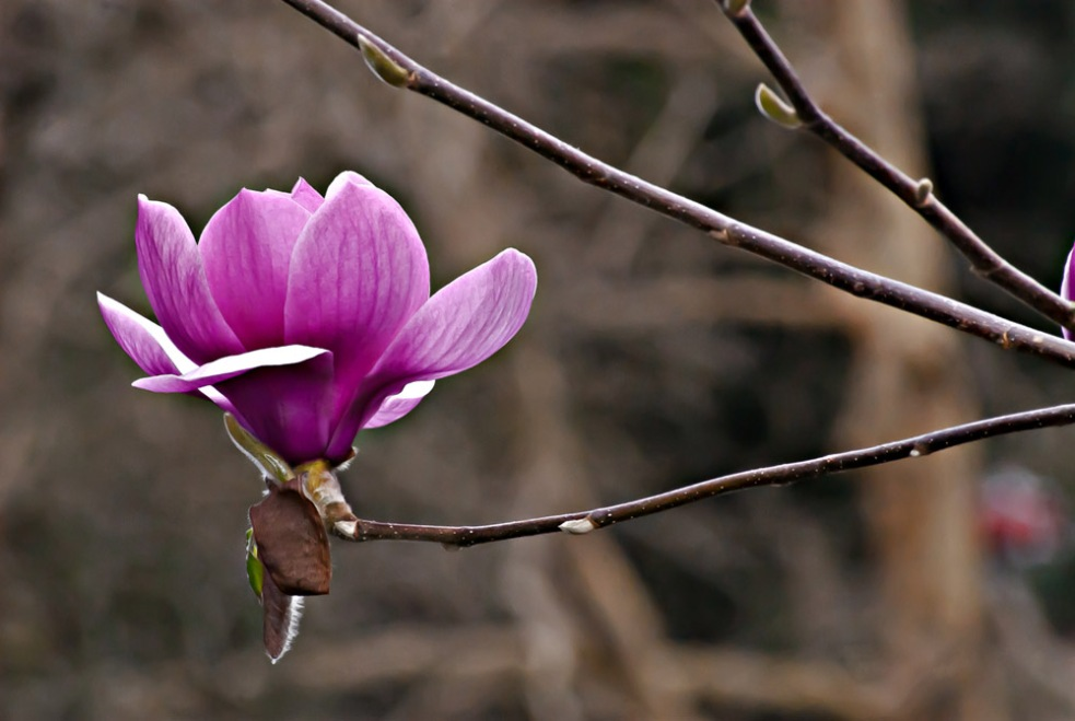 2 Quote A Flower Daily - Noble Magnolia 03