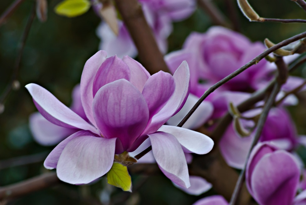 2 Quote A Flower Daily - Noble Magnolia 05