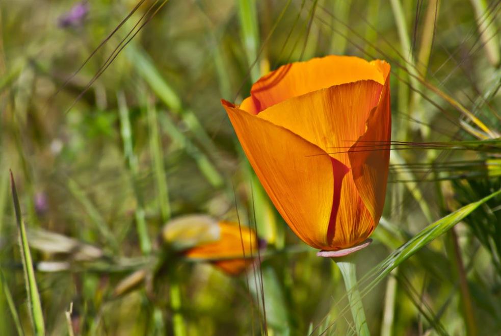 2 Quote A Flower Daily - Orange California Poppy