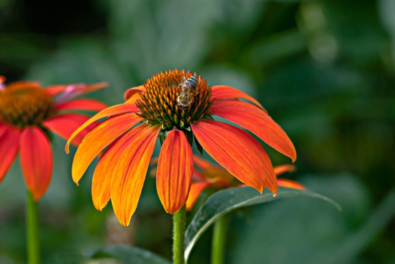 2 Quote A Flower - Orange Cone Flower Bee