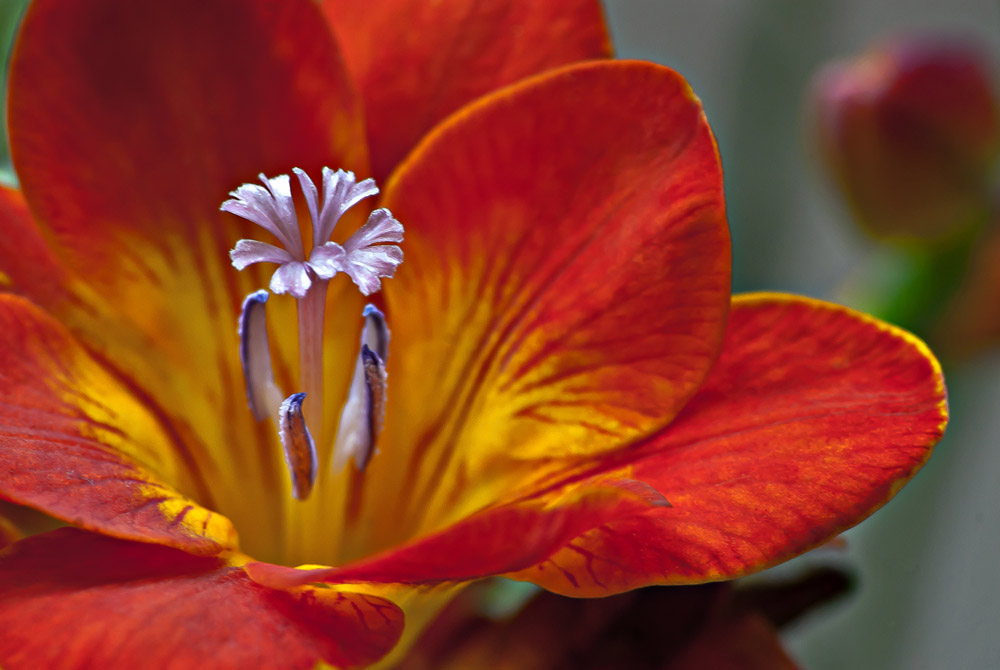 2 Quote A Flower Daily - Orange LIly