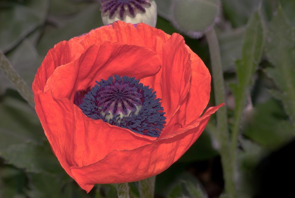 2 Quote A Flower Daily - Orange Oriental Poppy 02