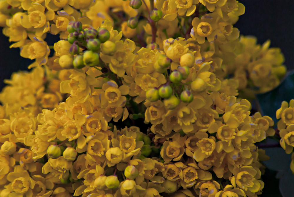 2 Quote A Flower Daily - Oregon Grape 03