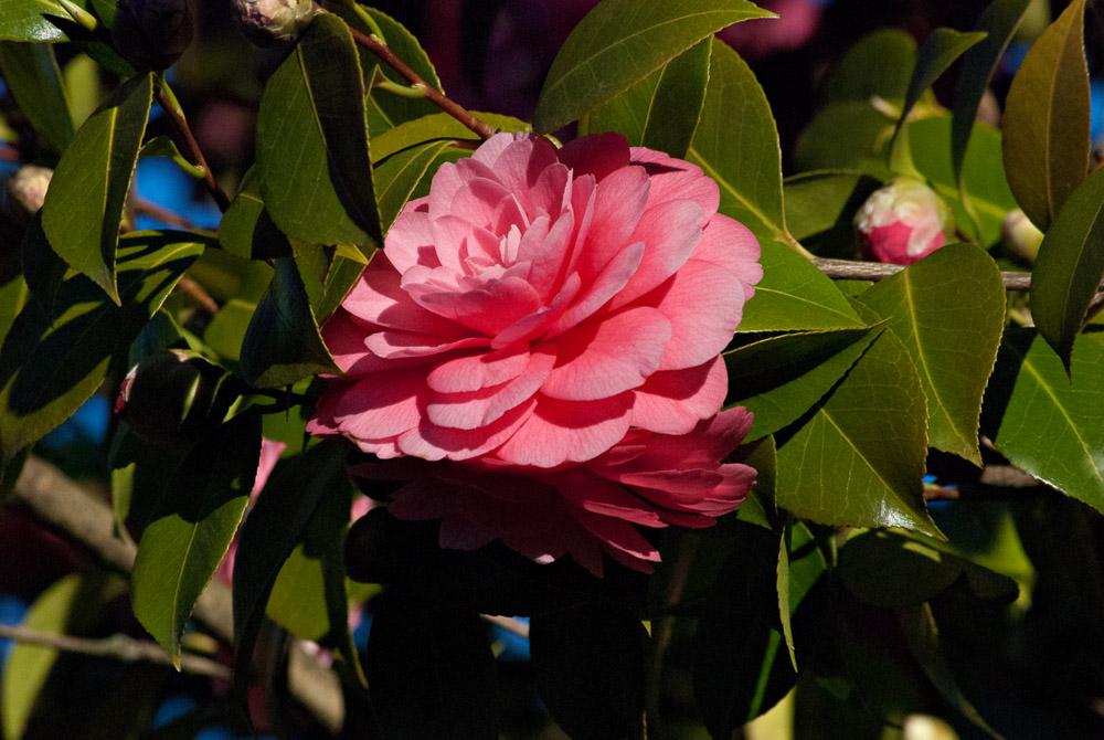 2 Quote A Flower Daily - Peach Camillia 02