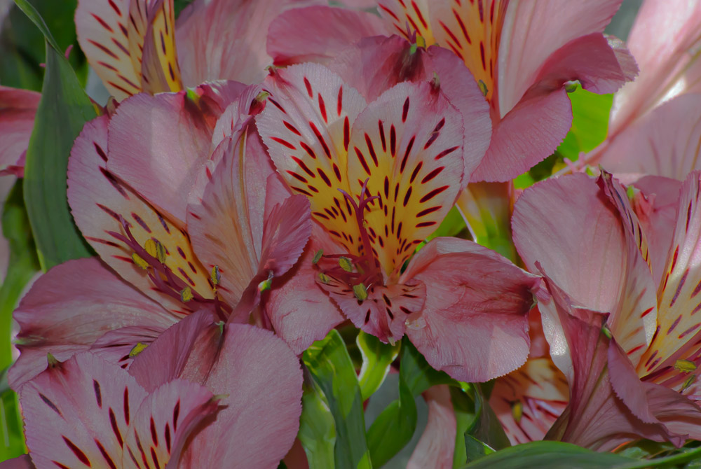 2 Quote A Flower Daily - Pink Peruvian Lily 02