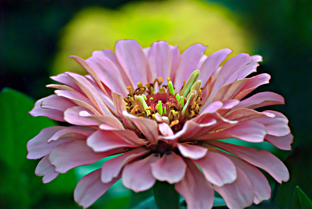 2 Quote A Flower Daily - Pink Zinnia 04