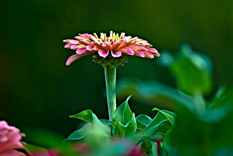 2 Quote A Flower Daily - PInk Zinnia