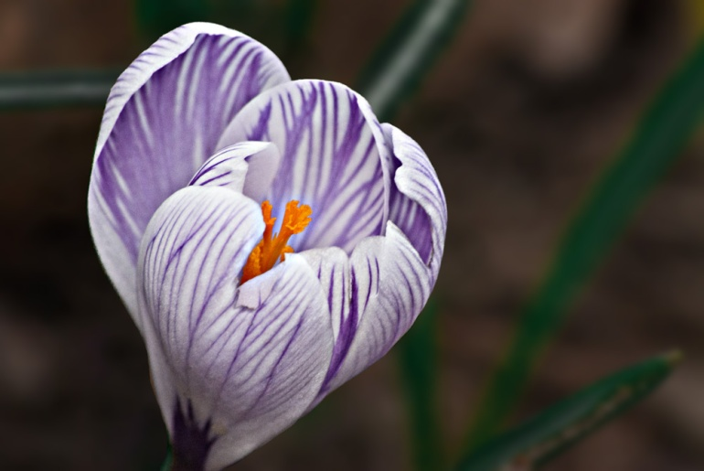 2 Quote A Flower Daily - Purple and White Crocus 02