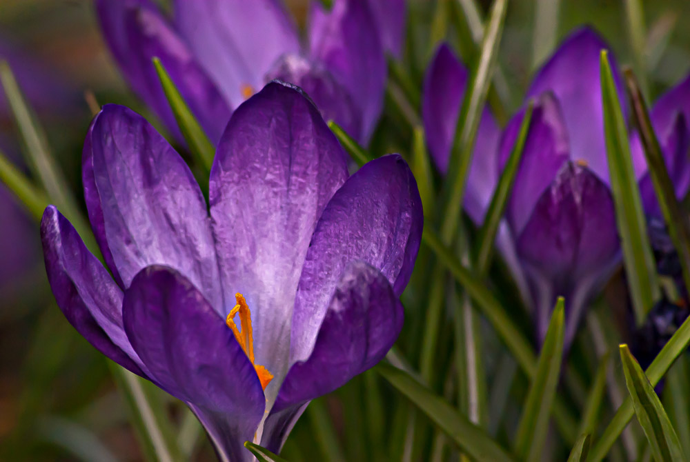 2 Quote A Flower Daily - Purple Crocus 02