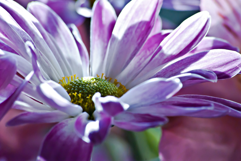 2 Quote A Flower Daily - Purple Daisy