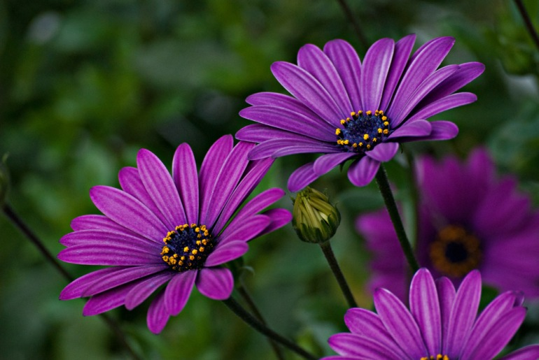 2 Quote A Flower Daily - Purple Daisy 02