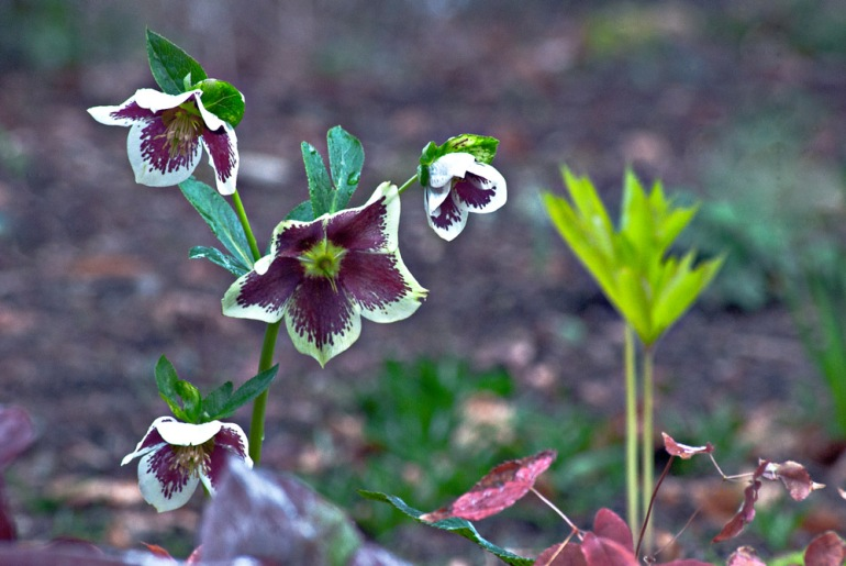 2 Quote A Flower Daily - Purple Hellebore 02