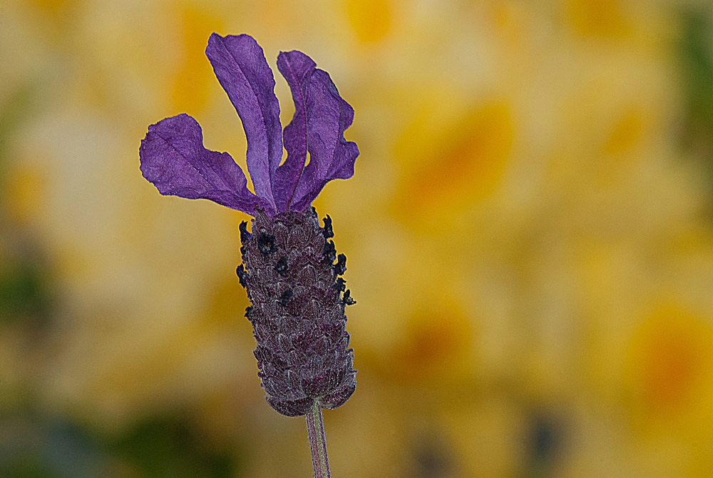 2 Quote A Flower Daily - Purple Lavender on Yellow Background