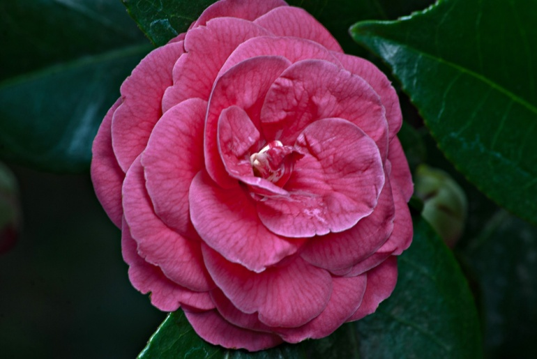 2 Quote A Flower Daily - Red Camellia 03