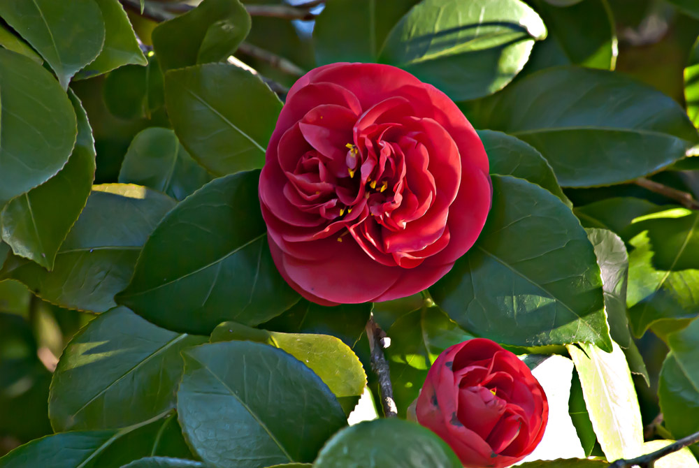 2 Quote A Flower Daily - Red Camellia 04