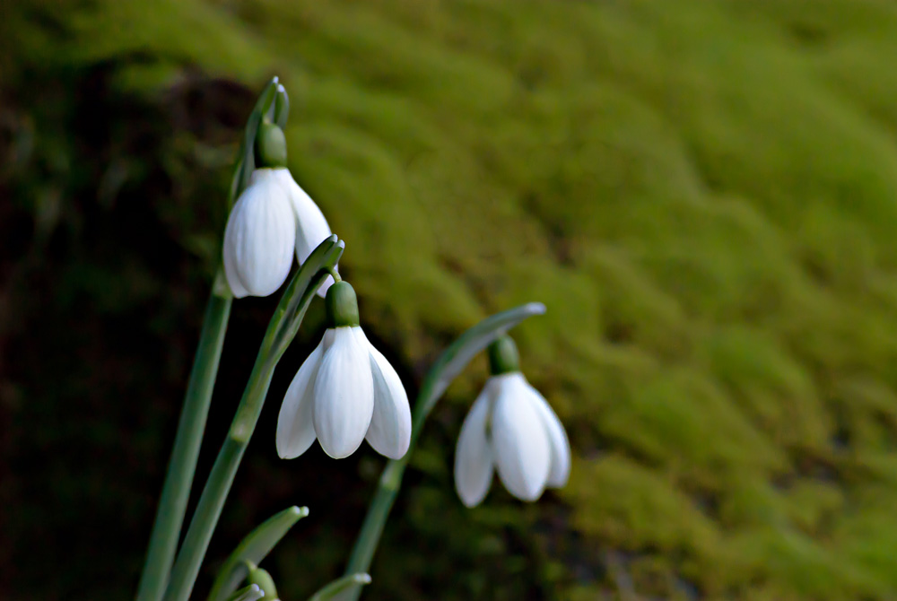 2 Quote A Flower Daily - Snowdrops