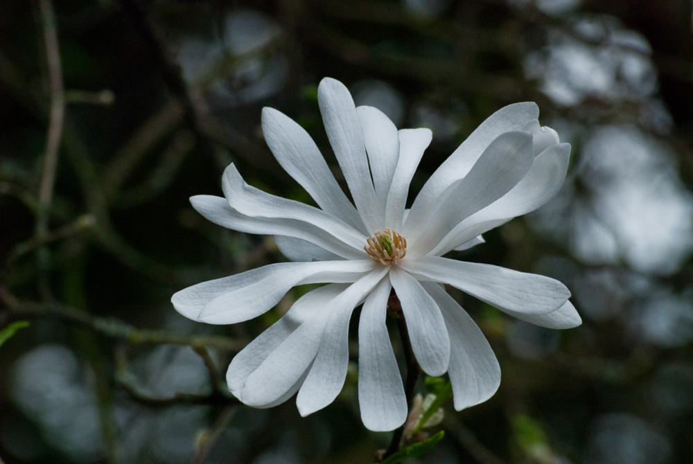 2 Quote A Flower Daily - Star Magnolia 04