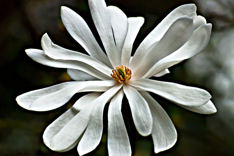2 Quote A Flower Daily - Star Magnolia 05