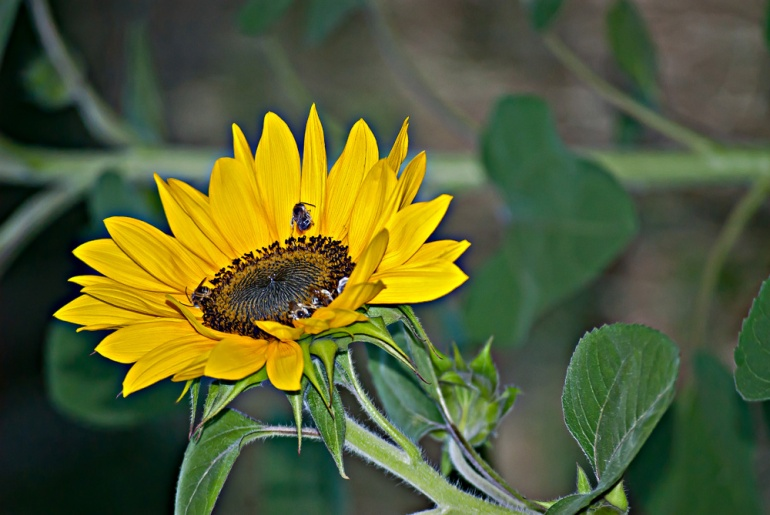2 Quote A Flower Daily - Sunflower Profile