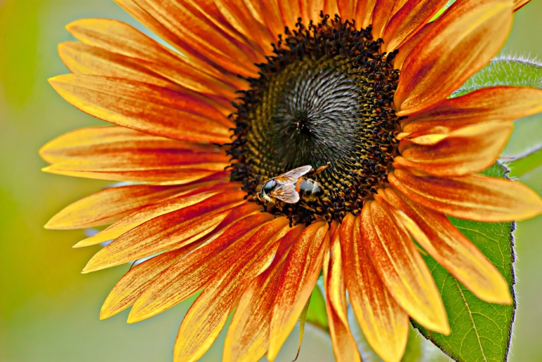 2 Quote A Flower Daily - Sunflower with Bee