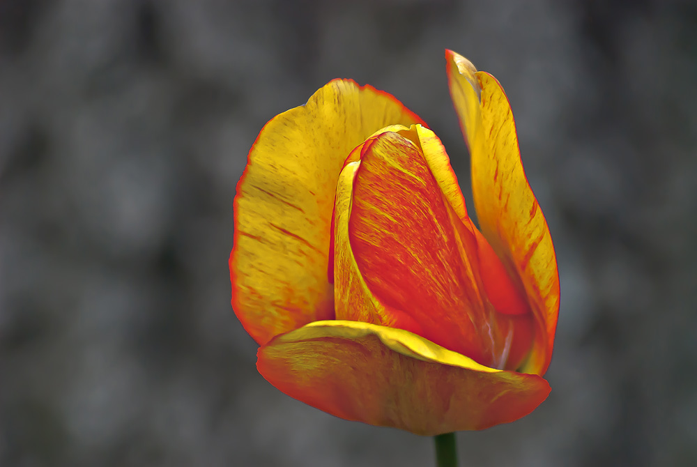2 Quote A Flower Daily - Tulip Side