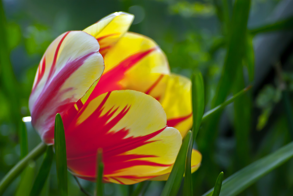 2 Quote A Flower Daily - Tulip Yellow and Red