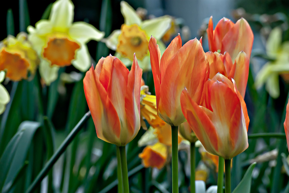 2 Quote A Flower Daily - Tulips and Daffodils