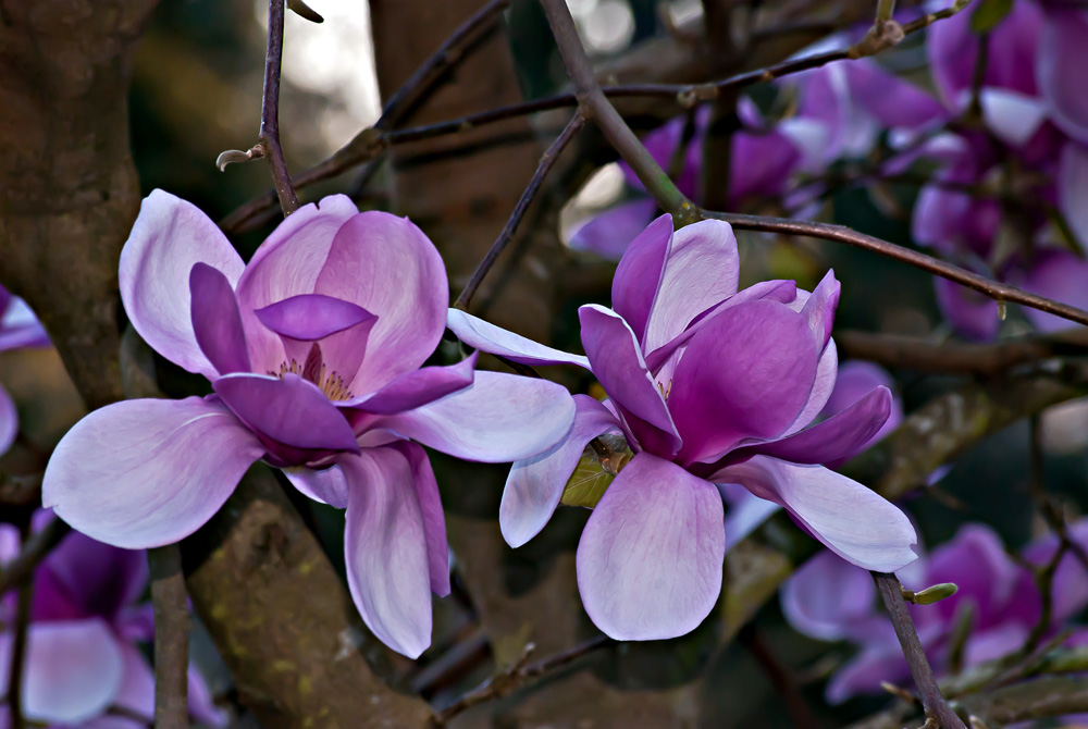2 Quote A Flower Daily - Two Magnolias