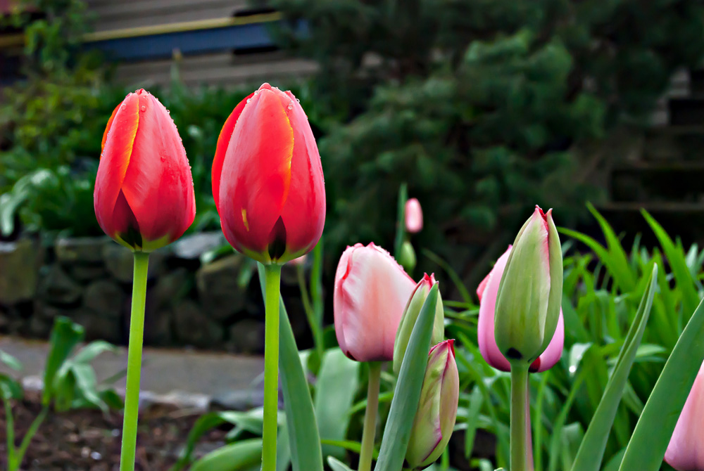 2 Quote A Flower Daily - Two Red Tulips