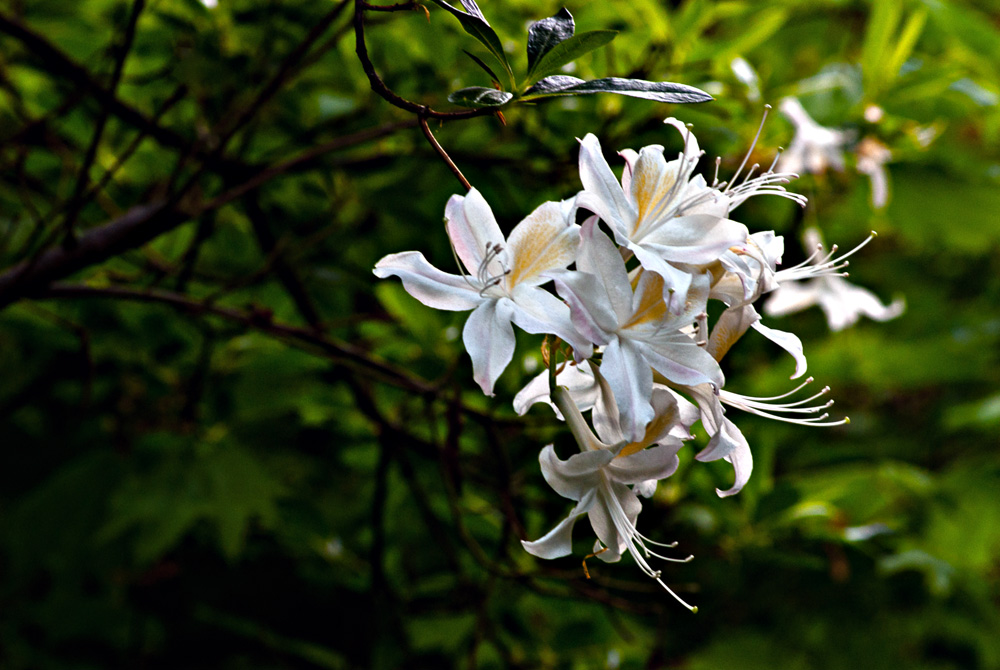 2 Quote A Flower Daily - White Azaleas