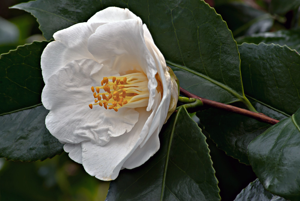 2 Quote A Flower Daily - White Camellia 02
