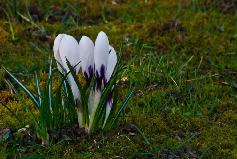 2 Quote A Flower Daily - White Crocus 02