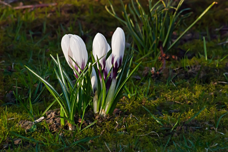 2 Quote A Flower Daily - White Crocus 03